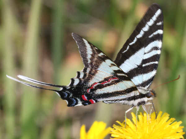 picture of a Zebra Swallowtail butterfly, the state butterfly of Tennessee and part of the Tennessee Butterflies collection