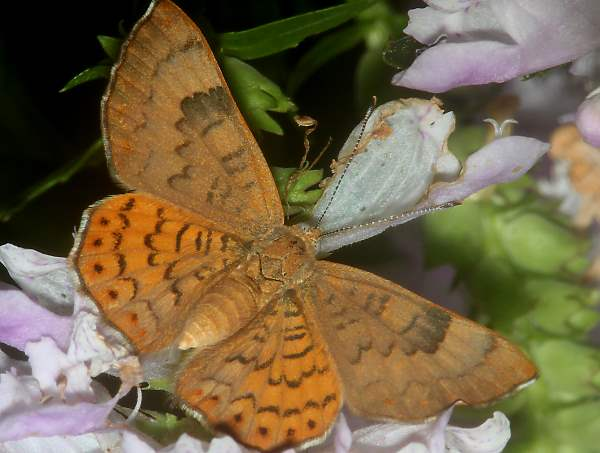 picture of a Zela Metalmark butterfly