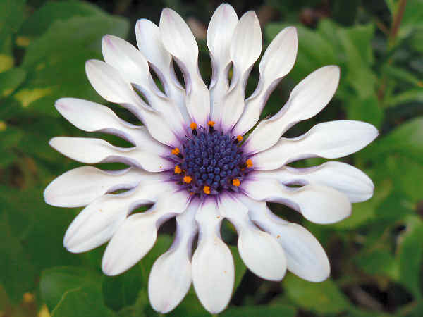 picture of an African Daisy