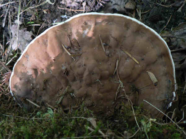 picture of an Artist's Conk mushroom