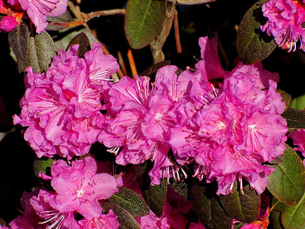 picture of a purple Azalea flowers, part of the ten best flowering shrubs for Washington series