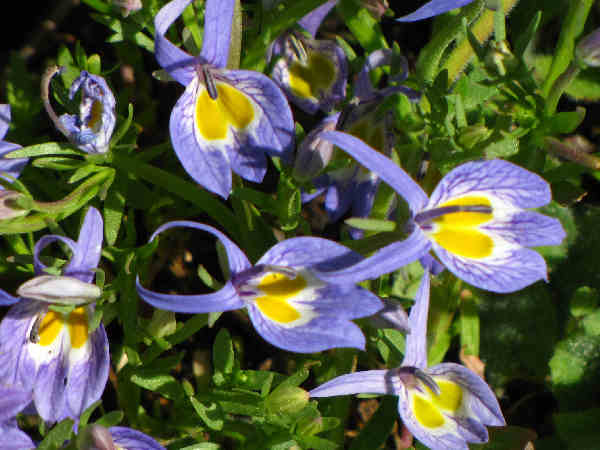 blue flowers: picture of Bach's Downingia flowers, part of the types of wildflowers series