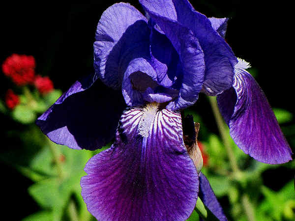picture of a bearded Iris flower