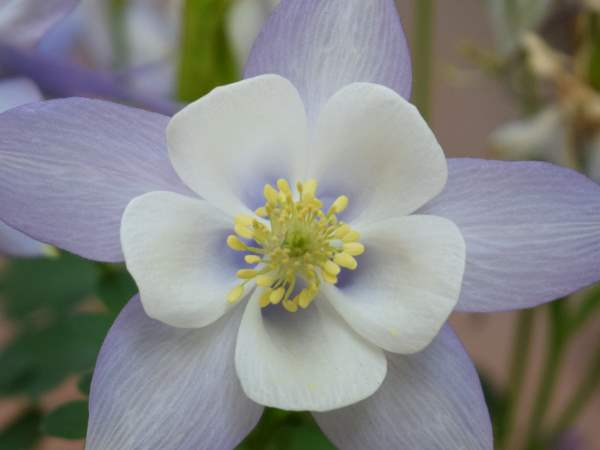 picture of a blue columbine flower, state flower of Colorado