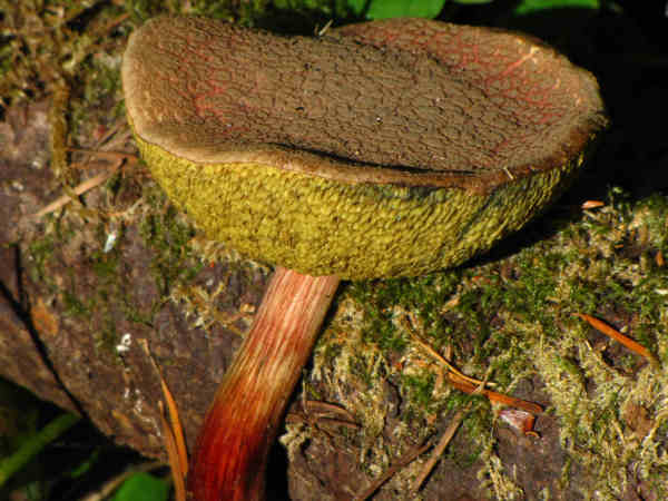 picture of a Boletus chrysenteron