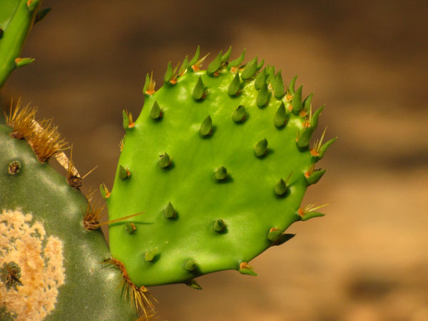 picture of a Texas Prickly Peak Cactus leaf