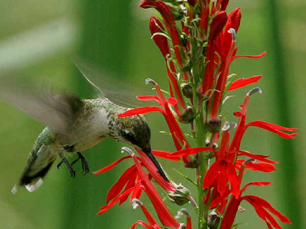 picture of a hummingbird with a cardinal flower, credit USFWS