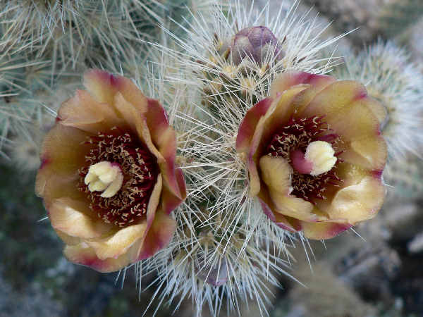 picture of some Silver Cholla cactus flowers