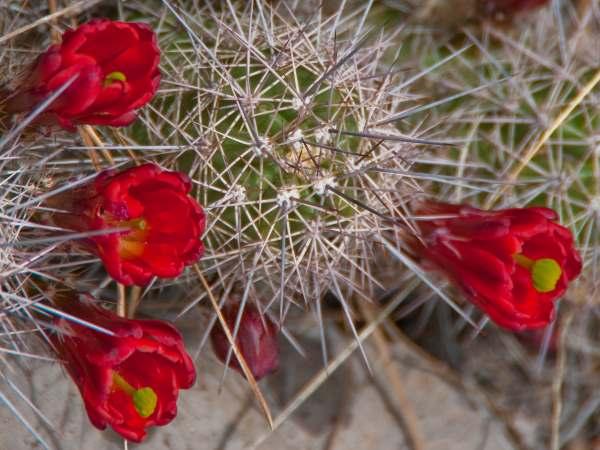 picture of a echinocereus coccineus, scarlet hedgehog cactus or claret cup cactus Cactus in bloom, New Mexico cactus gardens