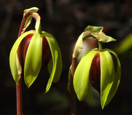 picture of Cobra Lily flowers