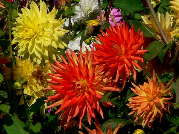 picture of dahlia flowers blooming during the fall