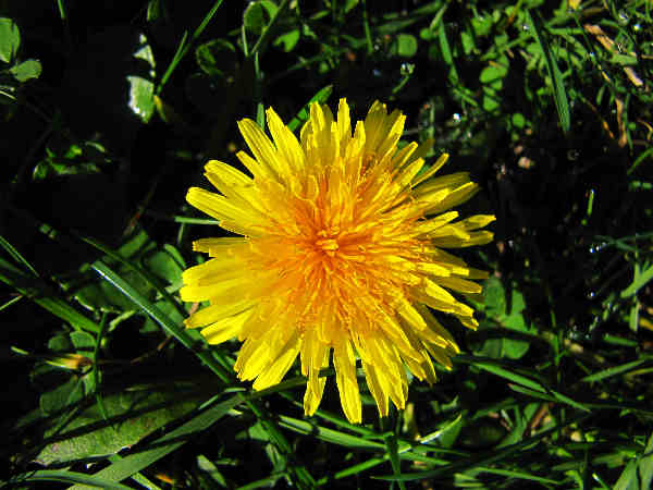 picture of dandelion weed in the lawns