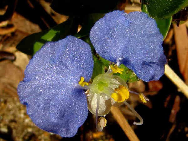 picture of a blue dayflower flower