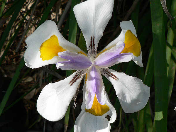 picture of a Dietes grandiflora iris flower