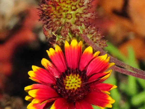 picture of Blanket Flower or firewheet