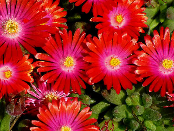 picture of a ground succulent with red flowers