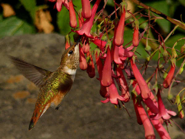 hummingbird plants: picture of a rufous humming hovering by a sage plant