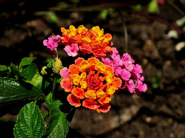 picture of Lantana Flowers