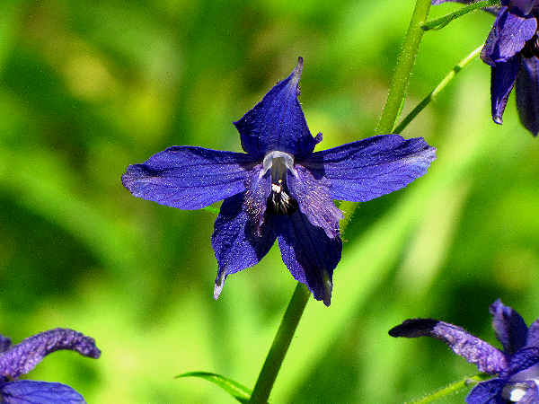 picture of larkspur flowers