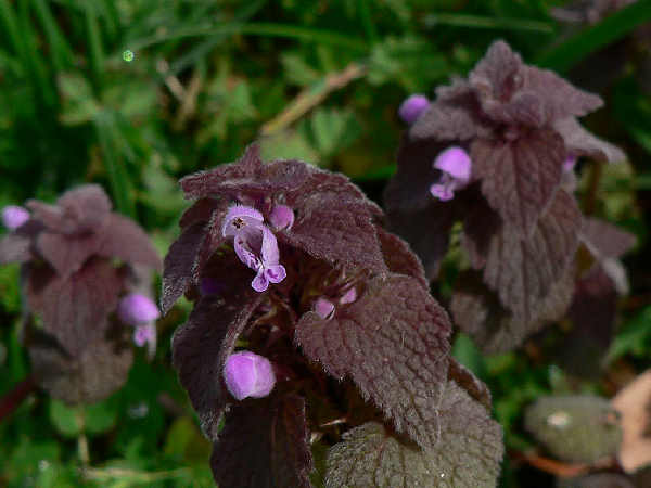 picture of dead nettle, one of many types of weeds commonly called a common lawn weed