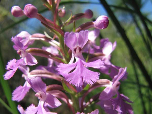 picture of a Lesser Purple Fringed Orchid, Platanthera psycodes