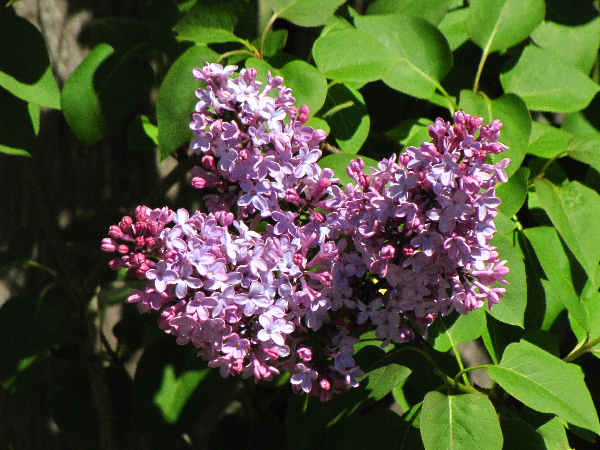 hummingbird plants: picture of a Rufus hummingbird with lilac flowers