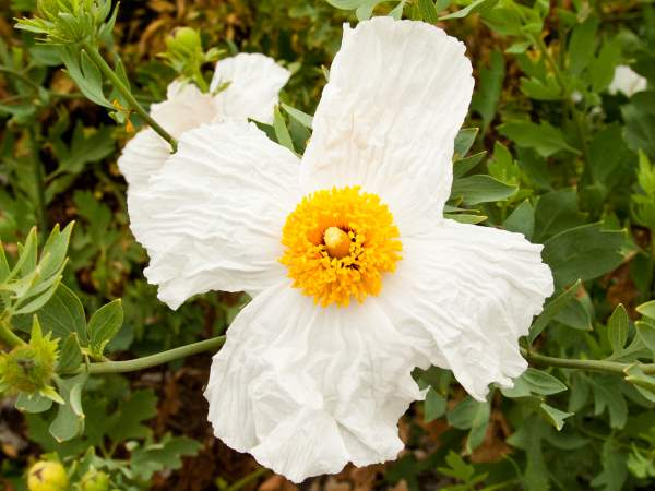 picture of a Matilija Poppy, types of poppies