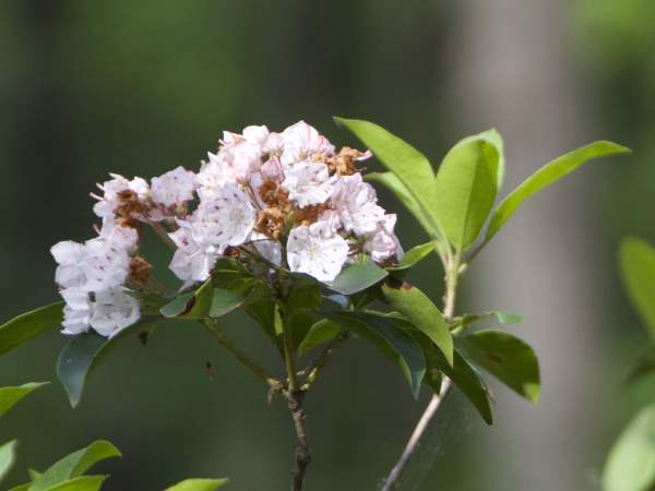 picture of Mountain Laurel, thee official Pennsylvania state flower, for Pennsylvania wildlife