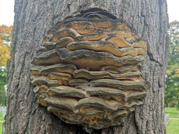 picture of a Northern Tooth Fungus growingon a maple tree, shelf mushroom identification