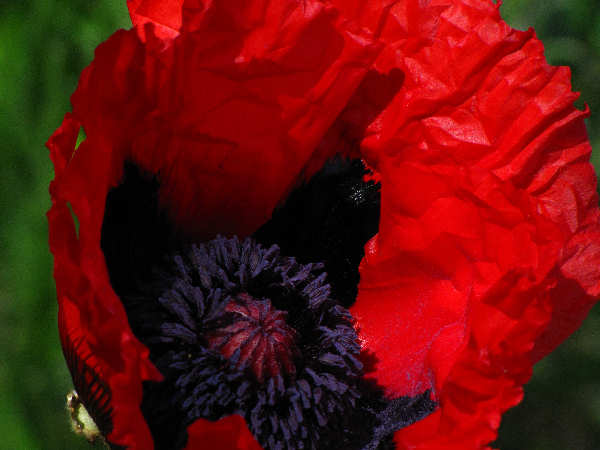 picture of a red poppy