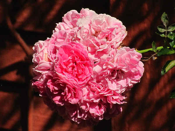 picture of a group of pink roses, part of the New York flowers collection