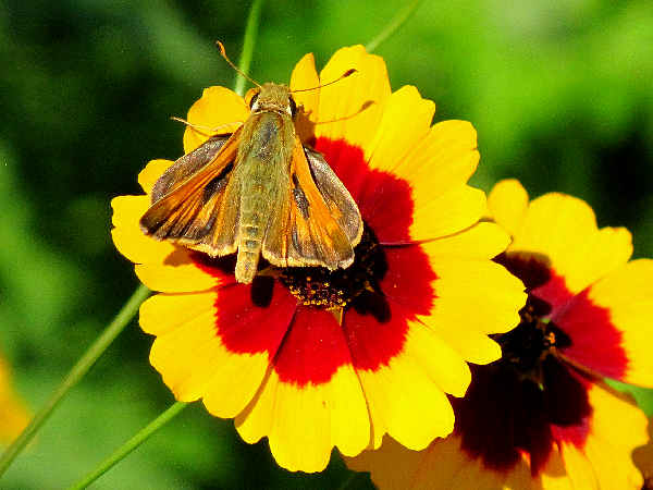 picture of a skipper butterfly on Plains coreopsis (Coreopsis tinctoria)