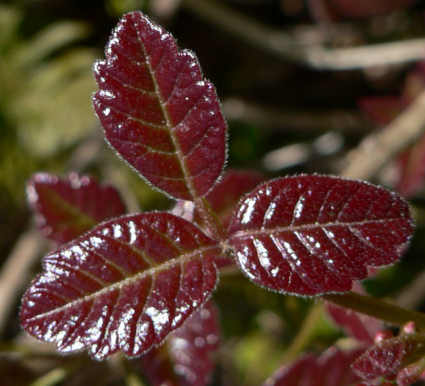 picture of the three leaves of the poison oak