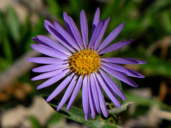 picture of a daisy fleabane flower