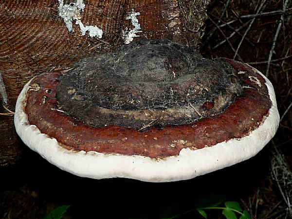 picture of a Red-belted polypore