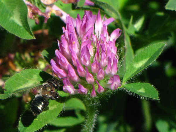 picture of red-clover