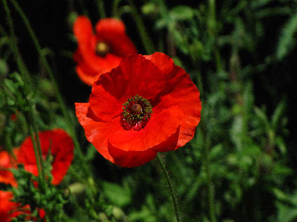 picture of a red poppy, one of may types of poppies that are suited to California gardens