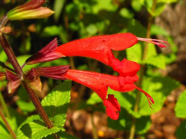 hummingbird plants: picture of red autumn sage flowers, salvia greggii