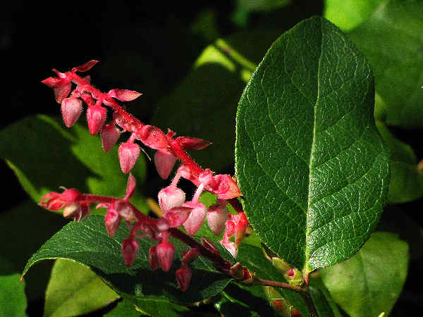 picture of salal flowers