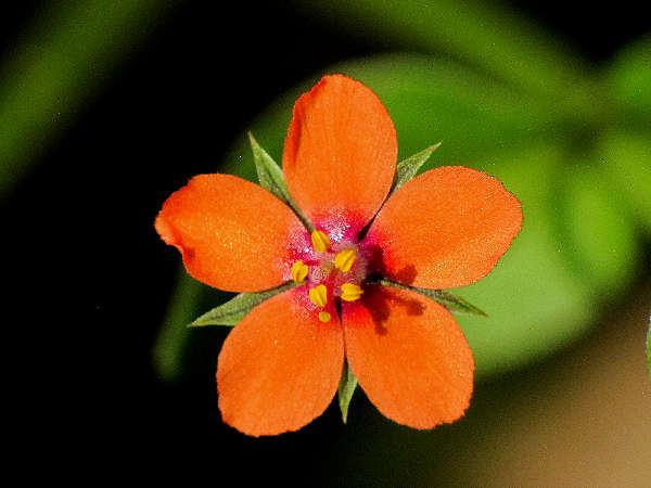 picture of scarlet pimpernel flower