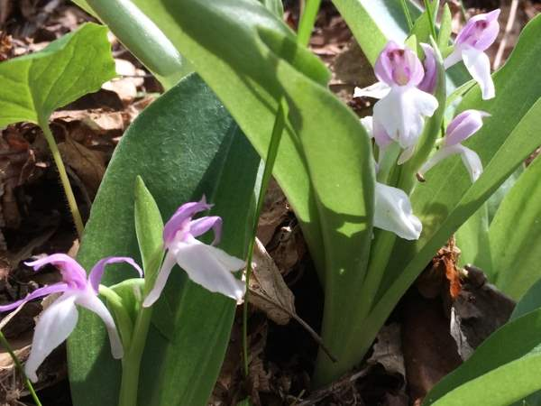 picture of a group of Showy Orchids, Galearis spectabilis