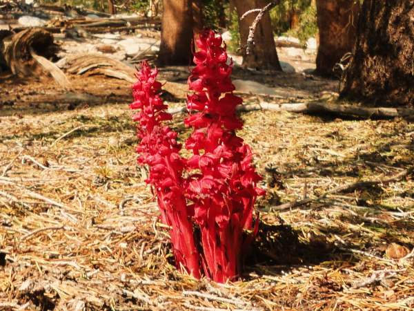 picture of a Snow Plant, Sarcodes sanguinea