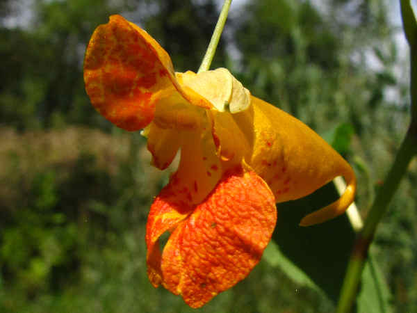 hummingbird plants: picture of a spotted jewelweed flower