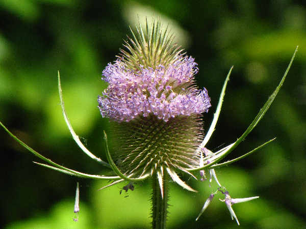 picture of a teasel plant in flower