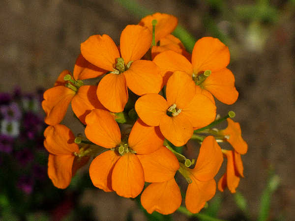 picture of a pair of sanddune wallflowers, Erysimum capitatum