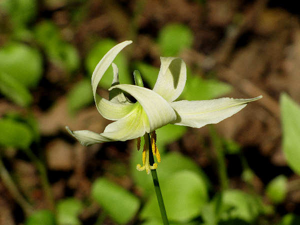 picture of a white-fawn-lily