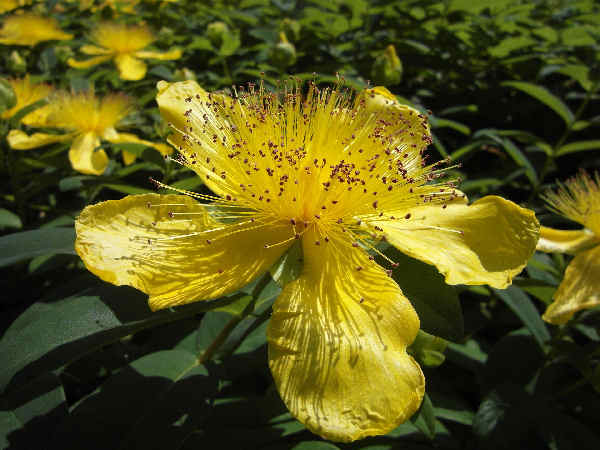 picture of a St. John's Wort flower