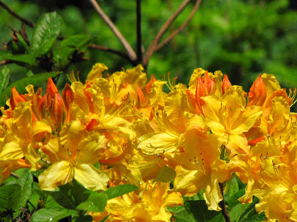 picture of some yellow rhododendron flowers