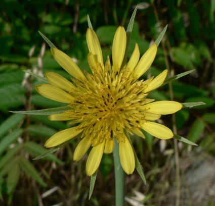 picture of a yellow salsify flower