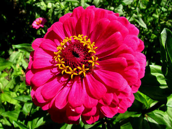 picture of a zinnia flower in bloom